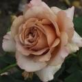 Мока роза