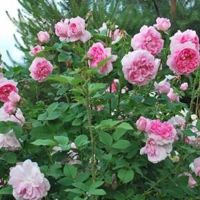 Котедж роуз