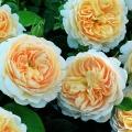 Крокус роз