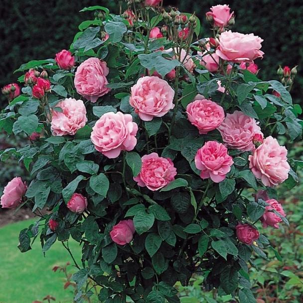 Мэри роз