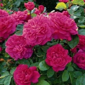 Софи роз
