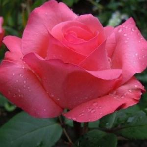 Пантер роз