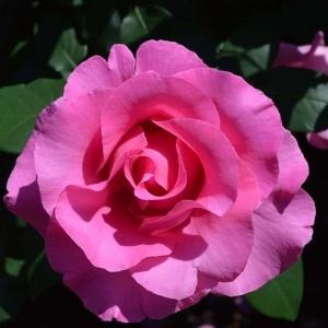 Роза Маккартни