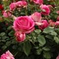 Пинк эден роз