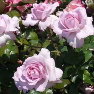 Ля роз дю пети принс