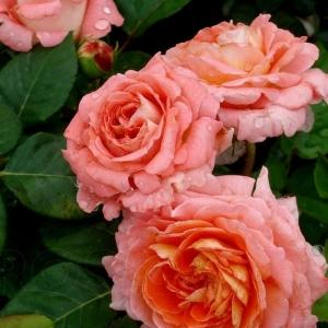 Нотр дам дю розе