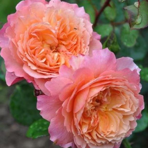 Роз де Жерберуа