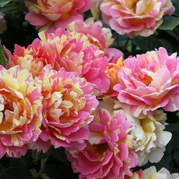Роз де Систерсьен