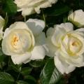 Флора романтика